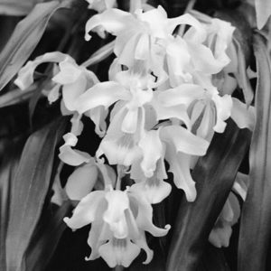 "<strong>Orchid I</strong><br>14.7 x 22""<br>Platnium & Palladium"